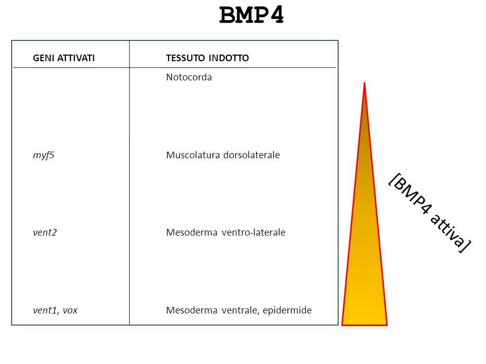 BMP4 [BMP4 attiva] GENI ATTIVATI myf5 vent2 vent1, vox TESSUTO INDOTTO